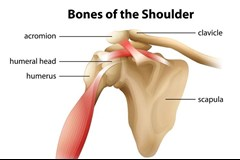bones of the shoulder image
